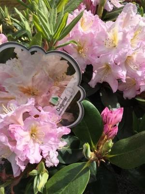 rhododendron hybride dagmar. Black Bedroom Furniture Sets. Home Design Ideas
