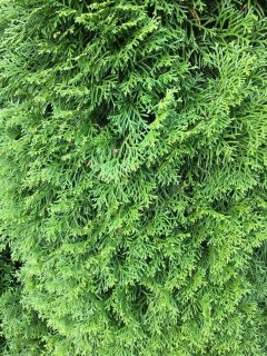 Thuja Occidentalis Smaragd, Edelthuja